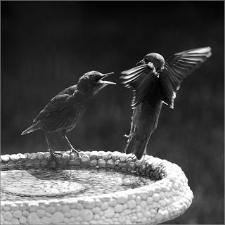 birds arguing