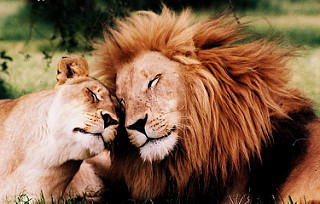 photo credit: Lions in love! via photopin (license)
